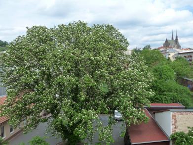 Vyhlašujeme anketu Brněnský strom roku 2013.
