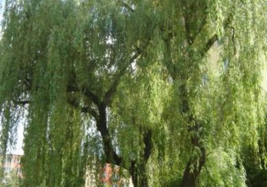 Volte nejkrásnější strom Brna