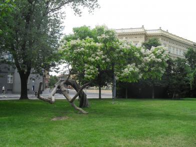 Brněnským stromem roku 2012 je katalpa